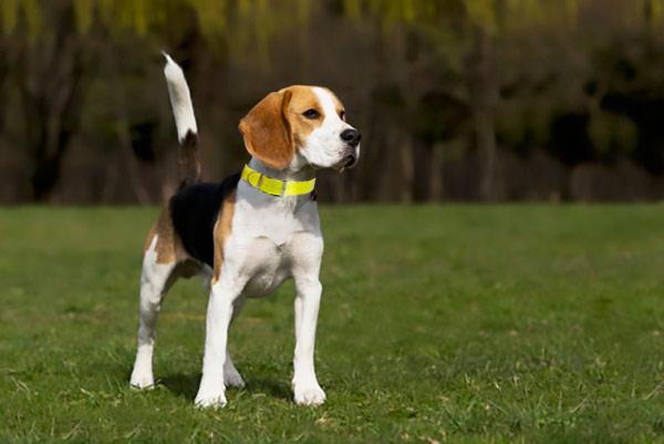 collier pour chien de chasse toute preuve auberdog. Black Bedroom Furniture Sets. Home Design Ideas