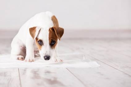 propret chiot apprendre la propret un chiot auberdog. Black Bedroom Furniture Sets. Home Design Ideas