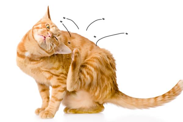 anti puce chat chaton produit et traitement efficace. Black Bedroom Furniture Sets. Home Design Ideas
