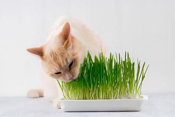 Herbe à chat, cataire, menthe   les effets sur le chat   Auberdog edfb442e6515