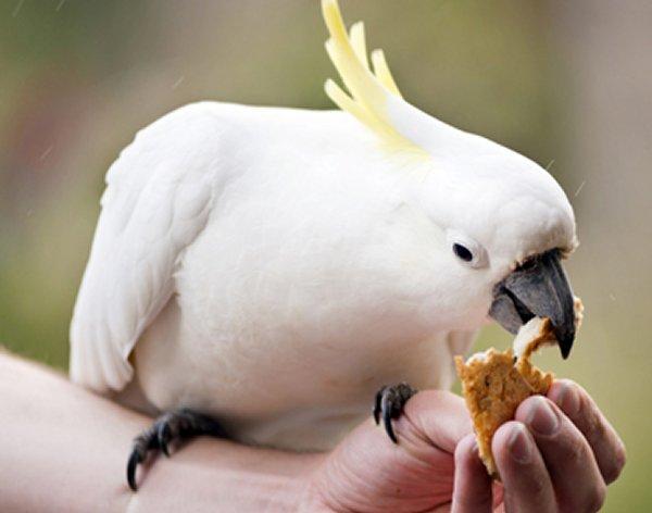 Que mange un perroquet ? alimentation perroquet, nourriture   Auberdog