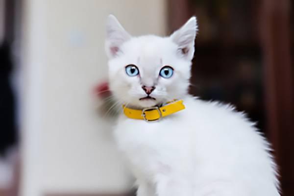 nouveau design le rapport qualité prix meilleur prix Collier chat anti étranglement personnalisé, sécurité ...