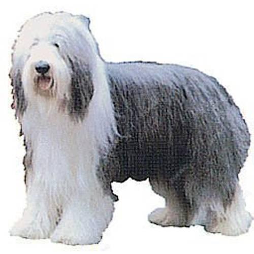 Autocollant Bearded Collie pour chien - Difac   Auberdog