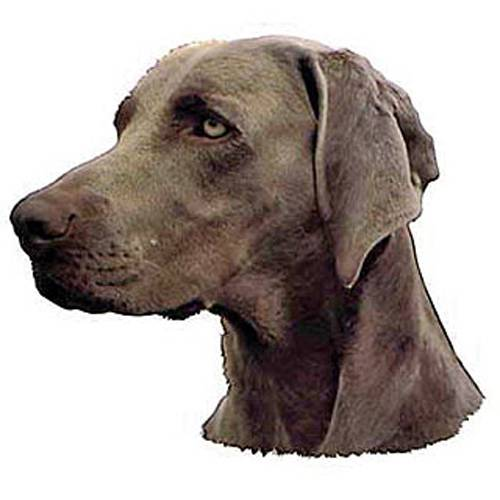 Autocollant Braque de Weimar pour chien - Difac   Auberdog