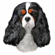 Autocollant Cavalier King Charles tricolore