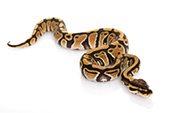 Auberdog - menu reptile